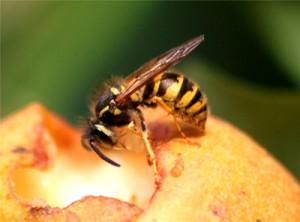 Dette er en hveps. De fås i forskellige størrelser, men er altid distinkt gule og sorte på en glat krop.