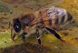 Bi drikker vand en forårsdag.