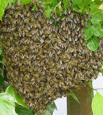 hvepsebo i græsplænen