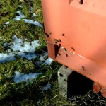 Sne ingen hindring. De første bier finder med stort vovemod frem til bl.a. erantis.