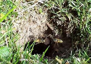 Et hul i græsplænen og trafik af hvepse. Hvepsene uddyber en eksisterende gang fra for eksempel muldvarper eller mosegrise.