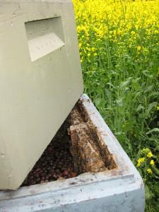 Kan det siges tydeligere: Rapsen står gul og flot. Men bistaderne i markskellet har alle en foderkasse med adskillige kilo såkaldt invertsukker. Her delvist dækket af et lag leca-nødder. Foderet suppleres fra en tankvogn.
