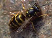 hvepsedronning