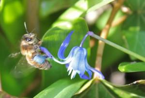 Man skal kende sine begrænsninger som fotograf, men heldigvis har Nina Launbøl Hansen fra det københavnske Plan Bi taget dette dejlig billede, som vi har fået lov til at bruge, af en bi , der skraber pollen til sig i en af de mange blå forårsblomster. (Det går nemlig til på samme måde ovre i København som her på fastlandet ;-) )