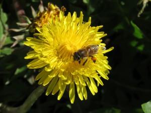 Bien har allerede fået anbragt nogle pæne klumper pollen på bagbenene.
