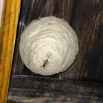 Dette er ikke en bisværm. Det er et hvepsebo. Pas på, hvis du selv går løs på hvepsene.