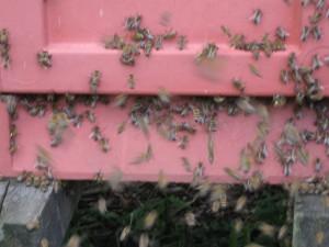 Trængsel. Hver enkelt bi er ivrig efter at komme ind og aflevere sit lille bidrag til den store husholdning.