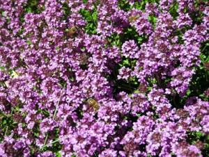Et nærbillede af et lillebitte udsnit af naboens timianblomster. Alene her er der tre bier på arbejde. De suger en lille anelse fra hver blomst og haster så videre til den næste.