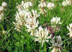 Hver eneste af de små, hvide blomster skal besøges. Billedet er fra vores egen græsplæne i Borum.