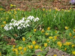 Erantis, vintergæk og (bagerst t.h.) krokus er blandt biernes allermest nyttige planter i det tidlige forår. De bør findes i enhver have.