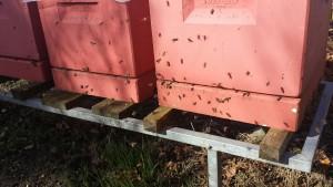 10. marts 2017: Bierne flyver ud. For nogle af dem er det første gang, og så orienterer de sig foran stadet, inden de flyver ud for at lette sig - forhåbentlig ikke over dit vasketøj. Har bien været ude før, leder den efter pollen lige i nærheden. Det skal bruges som proteinfoder til at opfodre næste generation. Derfor er planter som pil, hassel, erantis, vintergæk og krokus vigtige for at få bifamilien skubbet i gang med at yngle.